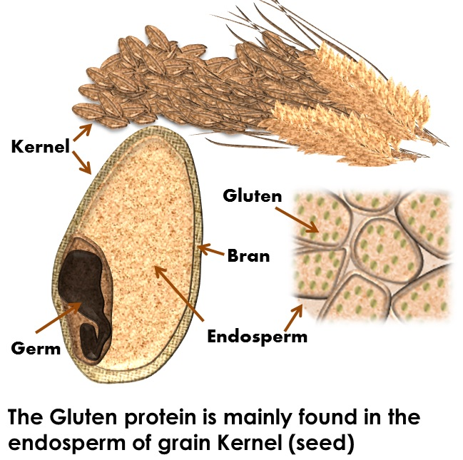 gluten free proteins