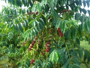 a mature coffee bush